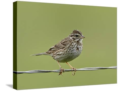 Lincoln's Sparrow (Melospiza Lincolnii), San Jacinto Wildlife Area, California, USA--Stretched Canvas Print