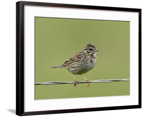Lincoln's Sparrow (Melospiza Lincolnii), San Jacinto Wildlife Area, California, USA--Framed Art Print