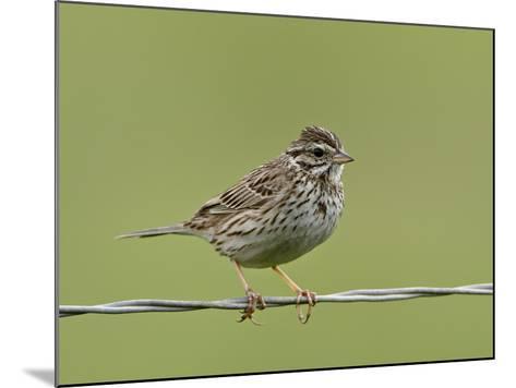 Lincoln's Sparrow (Melospiza Lincolnii), San Jacinto Wildlife Area, California, USA--Mounted Photographic Print