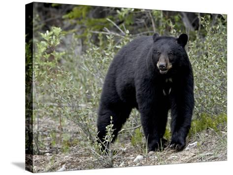 Black Bear (Ursus Americanus), Banff National Park, Alberta, Canada, North America--Stretched Canvas Print