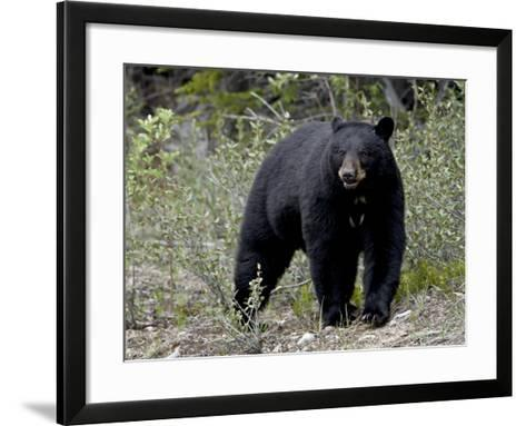 Black Bear (Ursus Americanus), Banff National Park, Alberta, Canada, North America--Framed Art Print