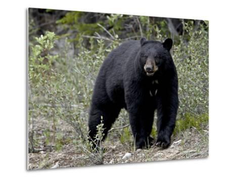 Black Bear (Ursus Americanus), Banff National Park, Alberta, Canada, North America--Metal Print
