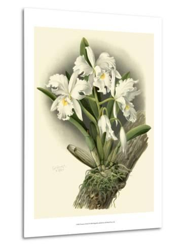 Dramatic Orchid I-Chas Storer-Metal Print
