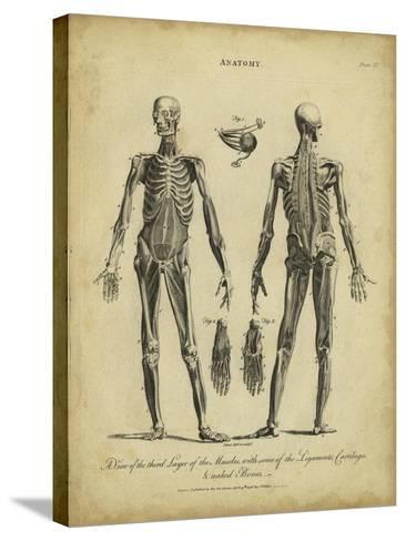 Anatomy Study II-Jack Wilkes-Stretched Canvas Print
