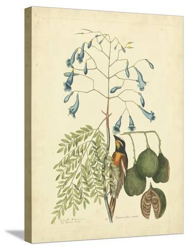 Catesby Bird & Botanical II-Mark Catesby-Stretched Canvas Print