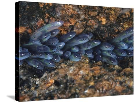 Year-Old Glass Eels Hole Up in Maine's Pemaquid River-David Doubilet-Stretched Canvas Print