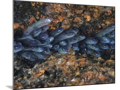 Year-Old Glass Eels Hole Up in Maine's Pemaquid River-David Doubilet-Mounted Photographic Print