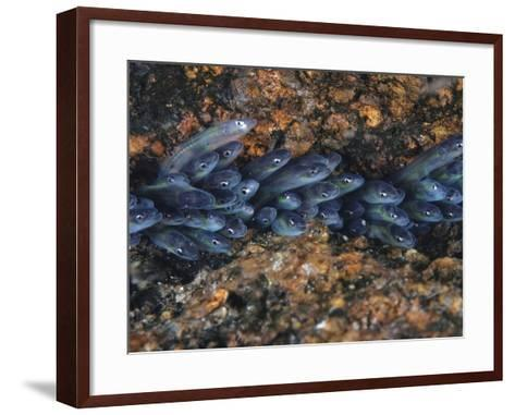 Year-Old Glass Eels Hole Up in Maine's Pemaquid River-David Doubilet-Framed Art Print