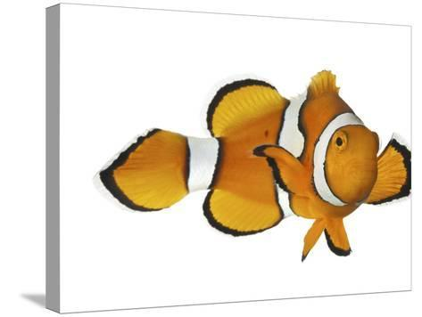 Acidified Water Impairs Clownfish Sense of Smell-David Liittschwager-Stretched Canvas Print