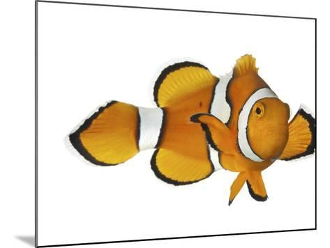 Acidified Water Impairs Clownfish Sense of Smell-David Liittschwager-Mounted Photographic Print