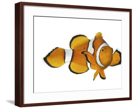 Acidified Water Impairs Clownfish Sense of Smell-David Liittschwager-Framed Art Print