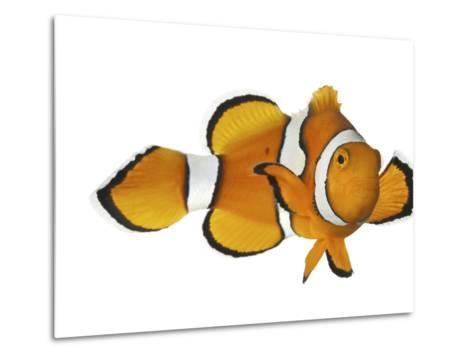 Acidified Water Impairs Clownfish Sense of Smell-David Liittschwager-Metal Print