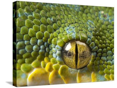 The Eye of a Green Tree Python, Morelia Viridis-Joel Sartore-Stretched Canvas Print