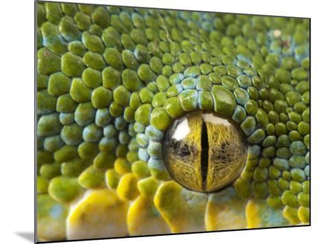 The Eye of a Green Tree Python, Morelia Viridis-Joel Sartore-Mounted Photographic Print