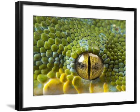 The Eye of a Green Tree Python, Morelia Viridis-Joel Sartore-Framed Art Print