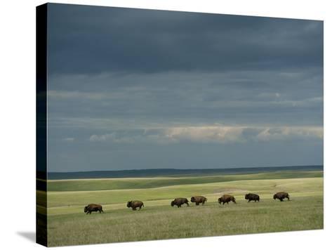 Wild American Bison Roam on a Ranch in South Dakota-Joel Sartore-Stretched Canvas Print