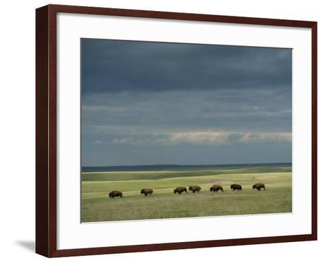 Wild American Bison Roam on a Ranch in South Dakota-Joel Sartore-Framed Art Print