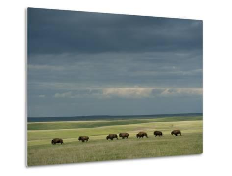 Wild American Bison Roam on a Ranch in South Dakota-Joel Sartore-Metal Print
