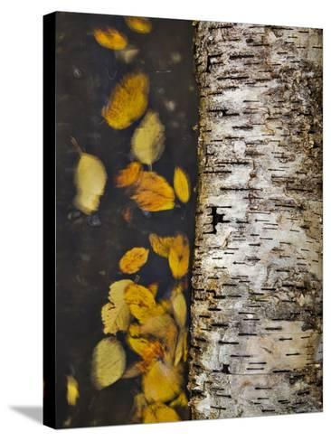 Leaves Float Past a Fallen Birch-Michael Melford-Stretched Canvas Print