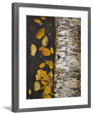 Leaves Float Past a Fallen Birch-Michael Melford-Framed Art Print