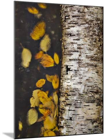 Leaves Float Past a Fallen Birch-Michael Melford-Mounted Photographic Print