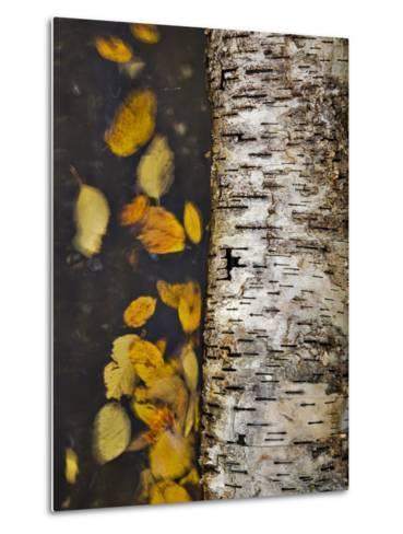 Leaves Float Past a Fallen Birch-Michael Melford-Metal Print
