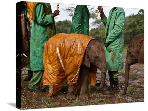 Keepers Protect a Baby Elephant From the Cold and Rain With a Custom-Made Raincoat-Michael Nichols-Stretched Canvas Print