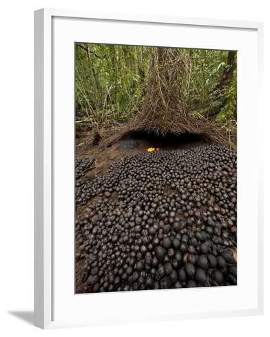 A Carpet of Acorns Leads to a Vogelkop's Bower-Tim Laman-Framed Art Print