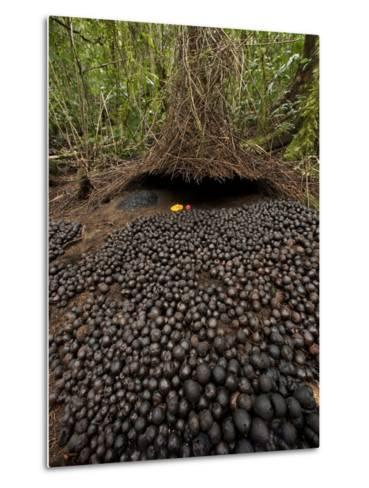 A Carpet of Acorns Leads to a Vogelkop's Bower-Tim Laman-Metal Print