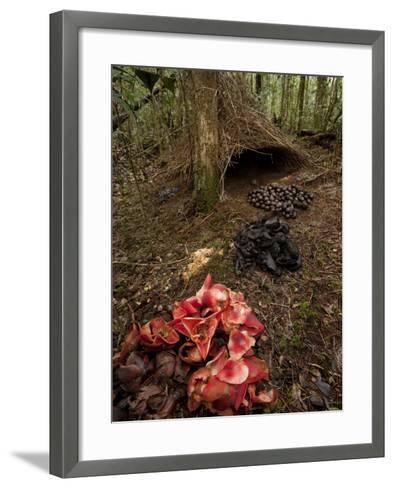 Acorns, Black Fungi and Pandanus Flowers Lead to a Vogelkop's Bower-Tim Laman-Framed Art Print