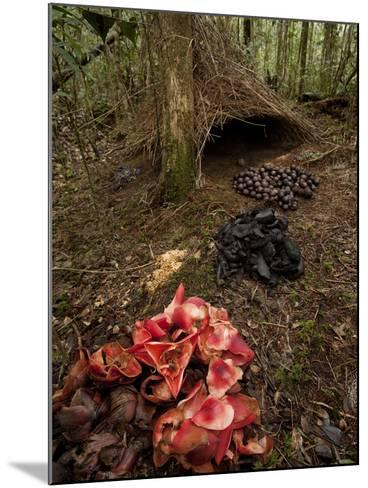 Acorns, Black Fungi and Pandanus Flowers Lead to a Vogelkop's Bower-Tim Laman-Mounted Photographic Print