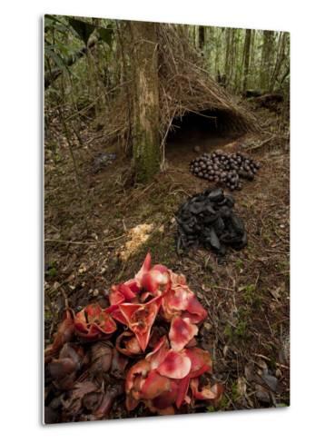 Acorns, Black Fungi and Pandanus Flowers Lead to a Vogelkop's Bower-Tim Laman-Metal Print