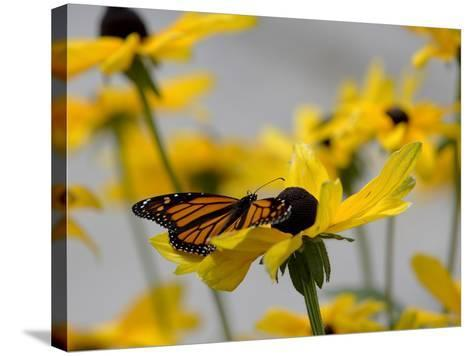 A Monarch Butterfly, Danaus Plexippus, on a Black-Eyed Susan Flower-Robbie George-Stretched Canvas Print