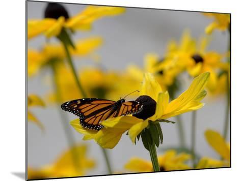 A Monarch Butterfly, Danaus Plexippus, on a Black-Eyed Susan Flower-Robbie George-Mounted Photographic Print