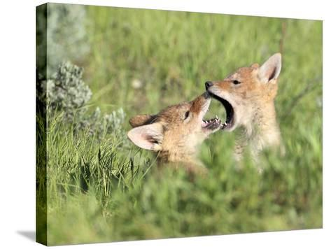 Coyote Pups, Canis Latrans, Being Playful-Robbie George-Stretched Canvas Print
