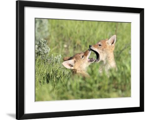 Coyote Pups, Canis Latrans, Being Playful-Robbie George-Framed Art Print