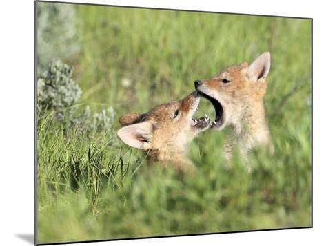 Coyote Pups, Canis Latrans, Being Playful-Robbie George-Mounted Photographic Print