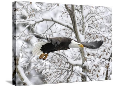 A Bald Eagle, Haliaeetus Leucocephalus, Flying in a Snowy Landscape-Robbie George-Stretched Canvas Print