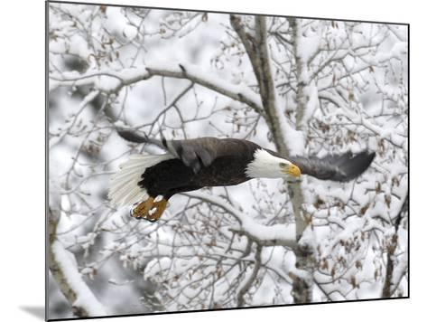 A Bald Eagle, Haliaeetus Leucocephalus, Flying in a Snowy Landscape-Robbie George-Mounted Photographic Print