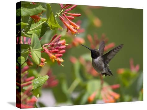 A Hummingbird Sipping Nectar from Honeysuckle Flowers-Robbie George-Stretched Canvas Print