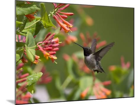 A Hummingbird Sipping Nectar from Honeysuckle Flowers-Robbie George-Mounted Photographic Print