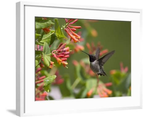 A Hummingbird Sipping Nectar from Honeysuckle Flowers-Robbie George-Framed Art Print