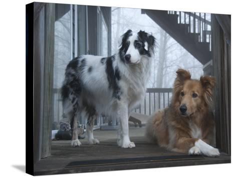 Portrait of Two Pet Australian Shepherd Dogs on a Wooden House Deck-Amy & Al White & Petteway-Stretched Canvas Print