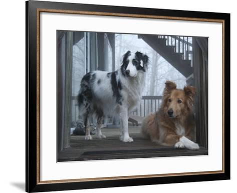 Portrait of Two Pet Australian Shepherd Dogs on a Wooden House Deck-Amy & Al White & Petteway-Framed Art Print