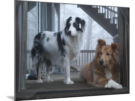 Portrait of Two Pet Australian Shepherd Dogs on a Wooden House Deck-Amy & Al White & Petteway-Mounted Photographic Print