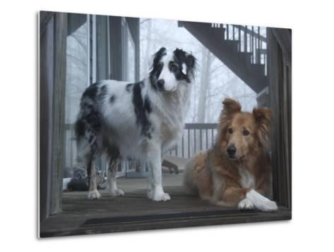 Portrait of Two Pet Australian Shepherd Dogs on a Wooden House Deck-Amy & Al White & Petteway-Metal Print