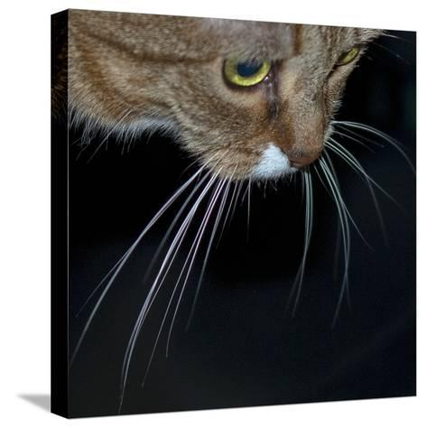 Close Up of a Pet Cat's Face and Whiskers-Amy & Al White & Petteway-Stretched Canvas Print