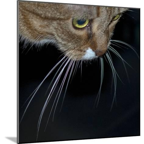 Close Up of a Pet Cat's Face and Whiskers-Amy & Al White & Petteway-Mounted Photographic Print