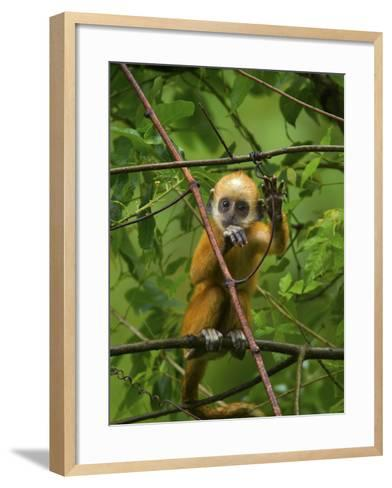 A Baby White-Headed Langur, Trachypithecus Leucocephalus, in a Tree-Jed Weingarten/National Geographic My Shot-Framed Art Print