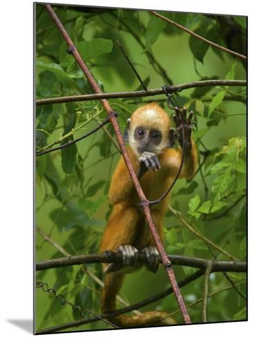 A Baby White-Headed Langur, Trachypithecus Leucocephalus, in a Tree-Jed Weingarten/National Geographic My Shot-Mounted Photographic Print